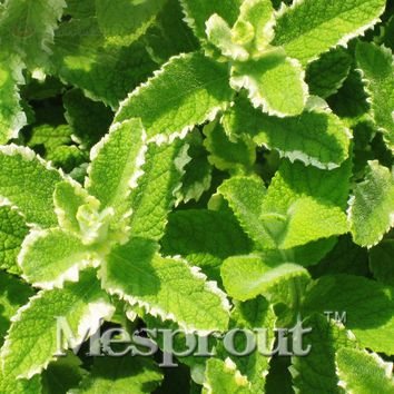 Hot Sale! 100 Pieces Mosaic Mint Seeds Vegetable Green Balcony Potted Plants Peppermint Aromatic Perennial Flowering Plant DIY H