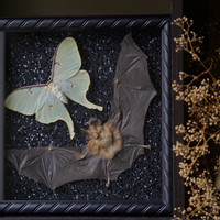 Bat & Luna Moth - Museum Glass Shadow Frame Display - Insect Bug Oddity Curiosity Art