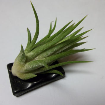 Air Plant Mounted On Black Shell Bead Perfect For Home and Office Decor Spa Oasis Living Plants