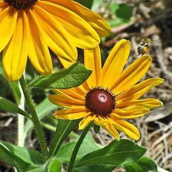 'Black-eyed Susans and a Busy Bee' Photographic Print by RoxanneG