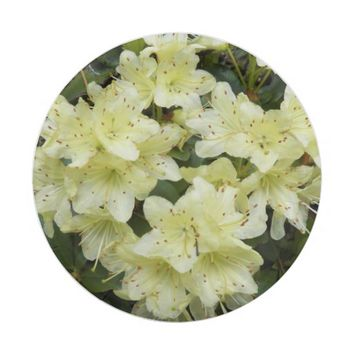Yellow Rhododendrons Floral Paper Plate
