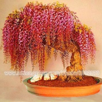 20PCS rare gold mini wisteria bonsai tree seeds ,potted flower seeds ,Indoor perennial ornamental plants for DIY home & garden