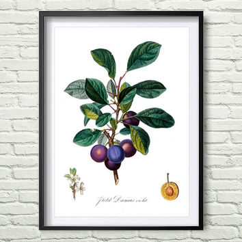 3 Colors Background, Antique botanical print, Plum Print, illustration digital download, Botanical Vintage Art Prints, Vintage poster *10*