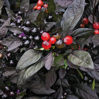10 Ornamental Black Pearl Pepper Seeds | Hot Spicy Chilli Fruit Vegetable Seeds | Home Gardening DIY Plant Growing Decor