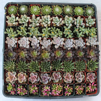 230  Beautiful Succulents  Wedding Party Gift Favors in their plastic 2 inch Pots echeverias etc. succulent