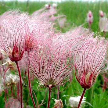Prairie Smoke, Geum trifolium, prairie wildflower, 25 seeds, crazy seed pods, zones 3 to 8, drought tolerant, rock garden, year round beauty
