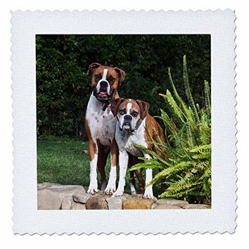 3dRose Two Boxer Dogs - Us05 Zmu0055 - Zandria Muench Beraldo - Quilt Square, 8 by 8-Inch (qs_88772_3)