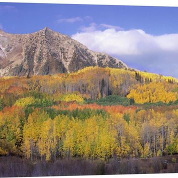 Quaking Aspen Forest in Autumn
