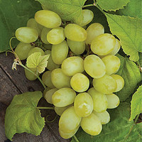 Marquis seedless Grape Plants, How to Grow Fruit Plants at Burpee.com