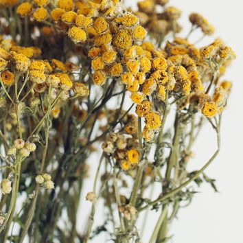 "Golden Yellow Dried Tansy Flowers - 4 oz Bunch - 20"" Tall"