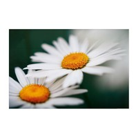 Two pretty daisies. acrylic print