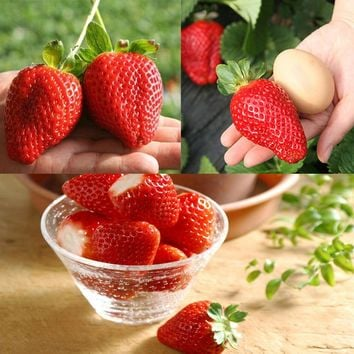 Giant Strawberry Seeds, PATHONOR 100Pcs Giant Red Strawberry Organic Seeds Garden