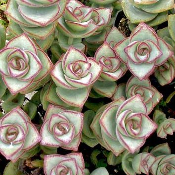 Crassula conjuncta - Ivory Towers