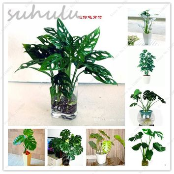 Mixed 100 Pcs Palm Tree Turtle Leaves Monstera Potted Plants Seeds Tree Bonsai Angiosperms Mixed Perennial Rare Flower Home