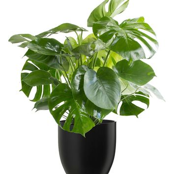 LIVE Philodendron Monstera in the Matte Black Ceramic Container - Ships Alone