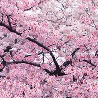 10 pieces pack Pink Cherry Blossoms tree Seeds Free Shipping bonsai tree seeds
