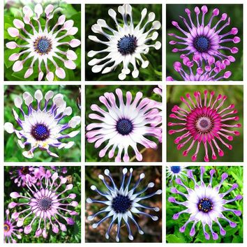 5 Colors Available Hot Selling 100 pcs Osteospermum Seeds Potted Flowering Plants Blue Daisy Flower Seeds