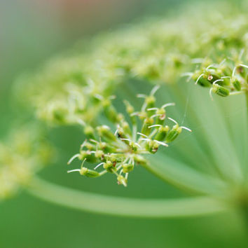 Sweet Cicely, Flower Photography, Macro Photography, Nature, Garden Photo, Printable Art, Digital Download, Green, Dreamy Photography