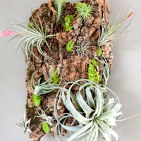 Living Tillandsia & Cork Bark Wall Hanging / Complete with 10 Specialty Air Plants / Holiday Gift / FREE SHIPPING