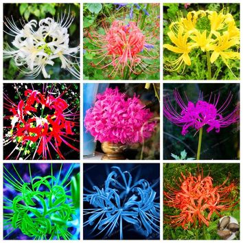 15 Bulbs True Lycoris Radiata Bulbs Perennial Flower Bulbs Natural Growth Beautiful Bonsai Plant DIY Home Garden(Not Seeds)