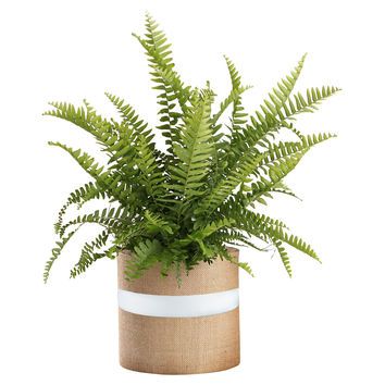"36"" Boston Fern Plant, Live, Trees"