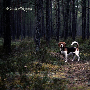 Beagle Photography - Fine Art Photography - 8x8 print - Beagle Art - woodland - forest photo - rustic decor - dog photography - dog art