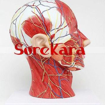 Human Anatomical Skull & Nerve Blood Vessel Head Viscera Medical Organ Model School Hospital