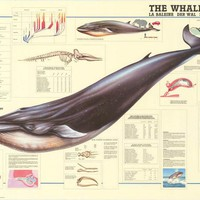 Whale Anatomy Education Poster 27x38
