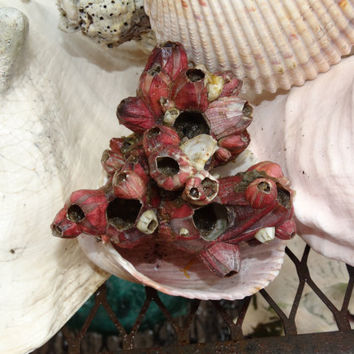 Sea Ship Barnacles, Nautical, Beach House Decor, Craft Barnacle Coral, Barnacle Specimen, Pink Barnacle Cluster