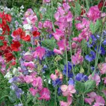 SWEET PEA, 25+ SEEDS ORGANIC NEWLY HARVESTED, GREAT CUT FLOWER