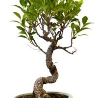 9GreenBox - Golden Gate Ficus Bonsai, Medium