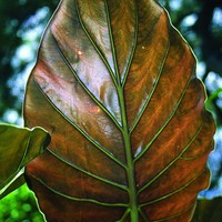Alocasia wentii, Upright Elephant Ear, Alocasia, buy Alocasia for sale, buy Upright Elephant Ear for sale