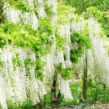 10 White Wisteria Flower Seeds | Fragrant Gorgeous Sinensis Hot Selling Heirloom Vine Tree Seed for DIY Home Garden Plants Decor Bonsai