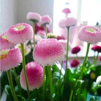 Small daisy flower seeds imported seed strawberry ice cream perfume potted chrysanthemum Sioux Dance 10 seeds