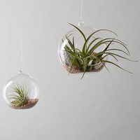 Glass Bauble Air Plant Hanger