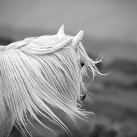 "Horse photo, black and white, colour, color, fine art photo, wild pony, animal photo, 45"" x 30"" very large print"