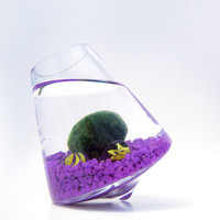 Marimo in the Purple Rocking Playground -- Discounted