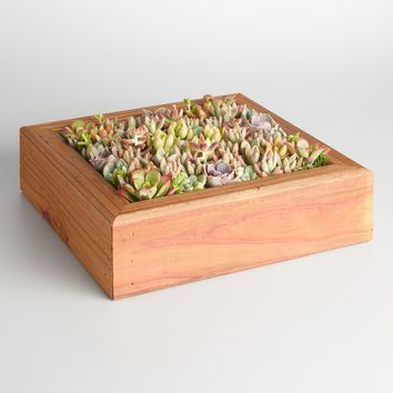 Live Succulent Garden in Redwood Box