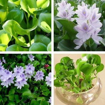 50 Particle/bag Bonsai Water Hyacinth Plants Lotus New Live Water Hyacinth Floating Pond Aquarium Lotus Fissidens Fontanus