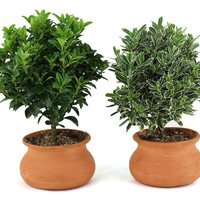 """10"""" Euonymus Plants, Live, Set of 2, Topiaries"""