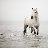 A Heart So White - White Horse Photograph