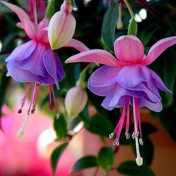 10 pack - Fuchsia Lantern Flower Seeds (Outdoors Best) Begonia Bell Flower.