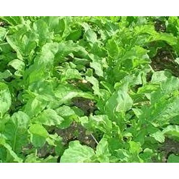 LETTUCE, ARUGULA ROQUETTE GREENS, HEIRLOOM, ORGANIC 25+ SEEDS,CRISP & DELICIOUS IN SALADS