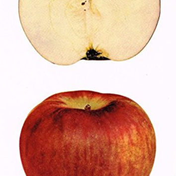 "Beach's Apples of New York - ""TWENTY OUNCE PIPPIN"" - Lithograph - 1905"