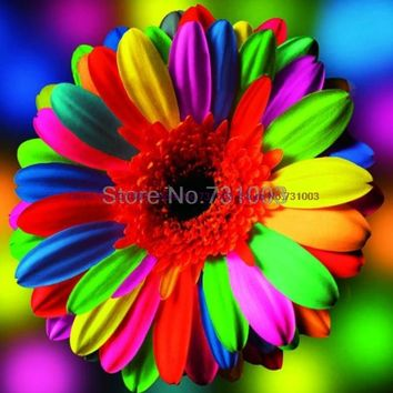 30 pcs/bag W00121 rainbow daisy seeds rare flower seeds Natural growth for home garden planting