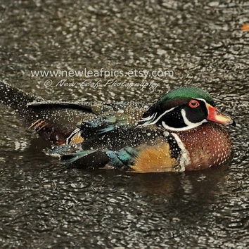Wood Duck in rain, Nature Print, gifts for him, bird photograph, vacation home, wall art, cabin decor, blue, green, red and brown