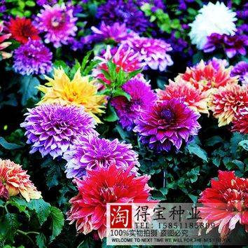 Plant Plants Virgo Dahlia Seed Garden Seasons Sowing Imports Seeds Double - Cut Type 10 Seeds