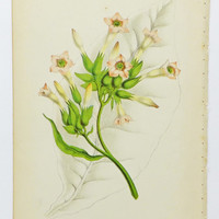 Picture of Tobacco Flowers, Antique Flower Print. 1880's Print