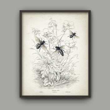 Vintage Honey Bee Art Print - Queen Bee - Worker - Drone Bee - Beehive - Beekeeping - Beekeeper Gift - Bee Illustration - Melittology -AB571