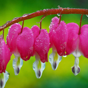 Bleeding Heart Seeds - PINK - Unique Heart Shaped Flowers - Heirloom - 10 Seeds